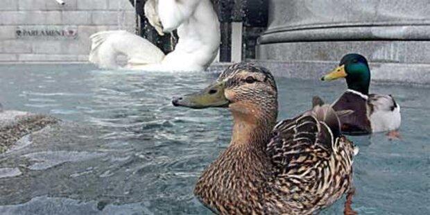 Entenpärchen wohnt im Parlamentsbrunnen
