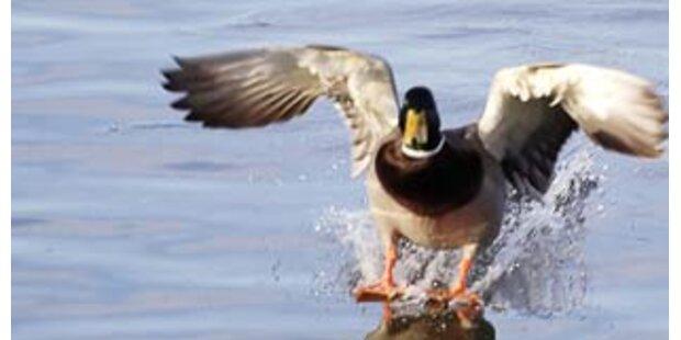 Gast reißt Ente in US-Restaurant den Kopf ab