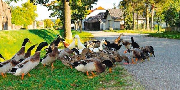 6 Polizei-Enten totgefahren