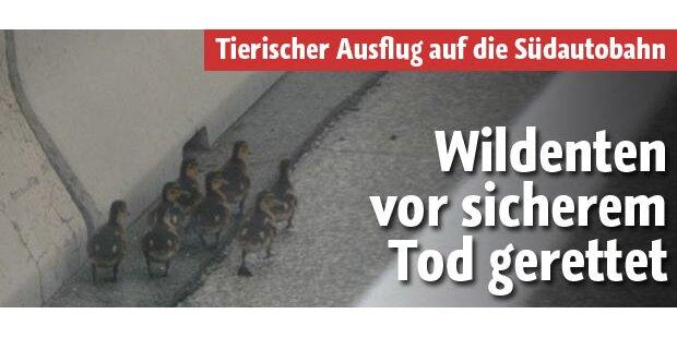 Wildenten vor sicherem Tod auf A2 gerettet