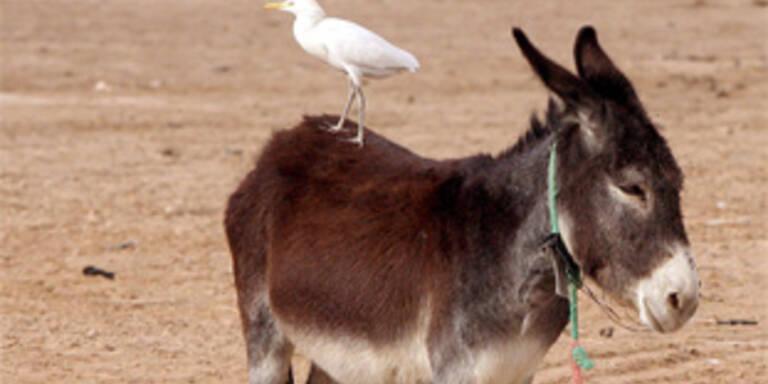 Dicken Kindern ist Eselreiten verboten