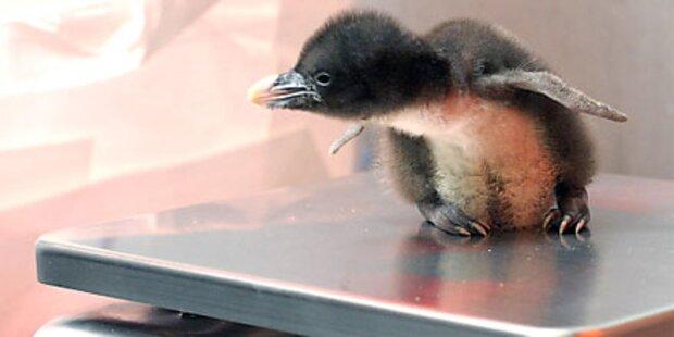 Pinguin Nachwuchs im Zoo Schönbrunn