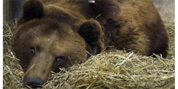 Bär Finn ist außer Lebensgefahr