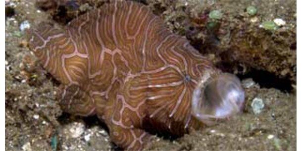 Neu entdeckter Fisch schwimmt nicht - er kriecht