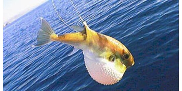 Fossil von schwangerem Fisch gefunden
