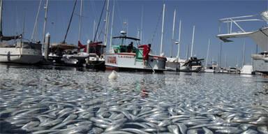Massen-Fischsterben in Kalifornien