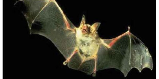 Vampir-Fledermäuse töteten 38 Menschen