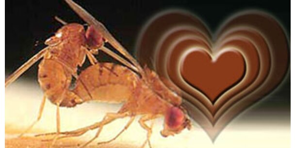 Fruchtfliegen brauchen mehrere Herzen zum Fliegen