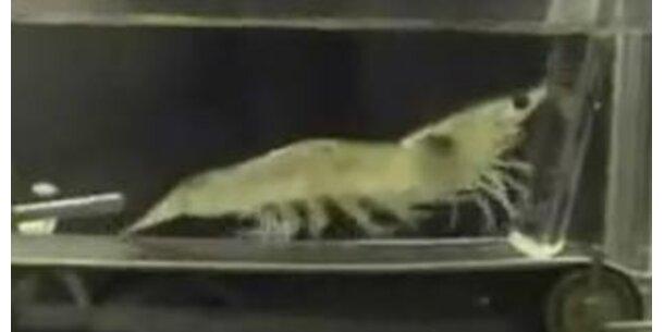 Shrimp hält sich am Laufband fit