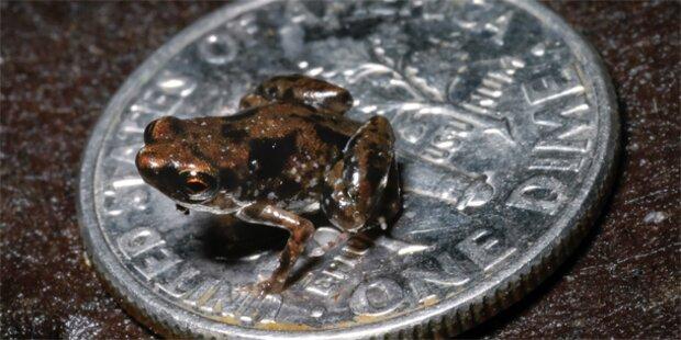 Kleinster Frosch der Welt entdeckt