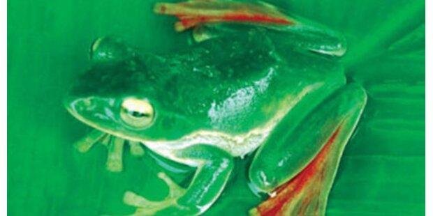 Fliegender Frosch im Himalaya entdeckt