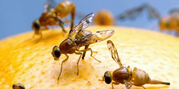 das hilft gegen fruchtfliegen ameisen und co. Black Bedroom Furniture Sets. Home Design Ideas
