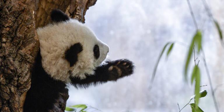 Panda Fu Bao unternehmungslustig und frech