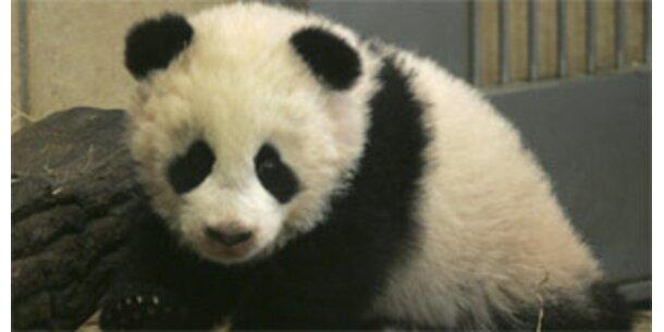 Markenstreit um Pandababy Fu Long