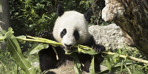 Todes-Seuche rottet Pandas aus