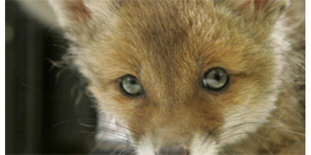 Schweizer Fuchs als Taschen-Dieb