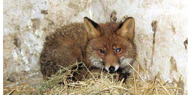 Füchse gehäutet: Tierquäler angezeigt