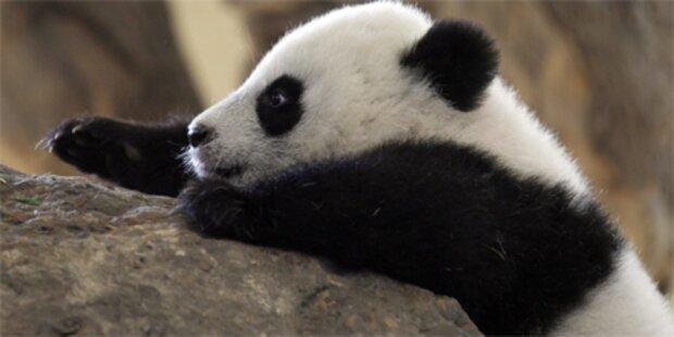 Fu Hu klettert für sein Leben gern
