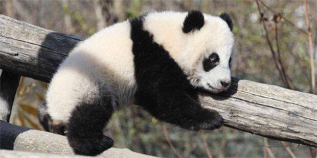 1 Jahr: Fu Hu macht Party