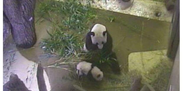 Fu Long wagte erste Schritte im Zoo