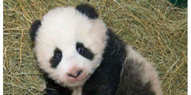 Alle wollen Panda sehen!