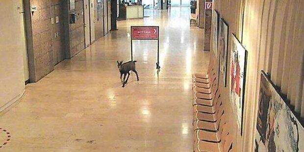 Tierischer Patient: Gams spaziert durch Grazer Krankenhaus