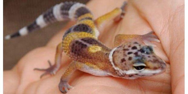 Mann mit Geckos in Unterhose verhaftet