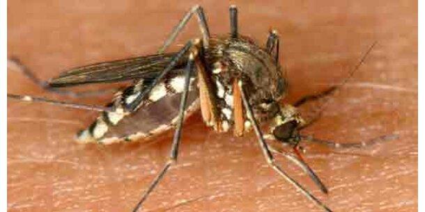 Moskitos sollen Malaria bekämpfen