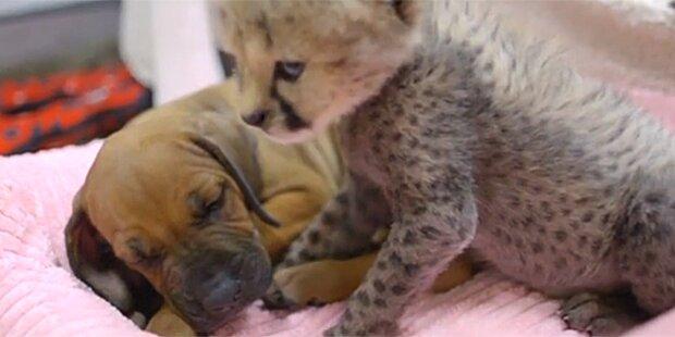 Geparden-Baby und Hund sind beste Freunde