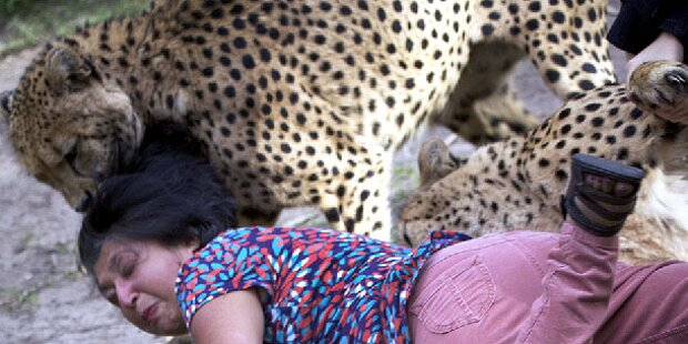 Gepard attackiert Frau - ihr Mann fotografiert