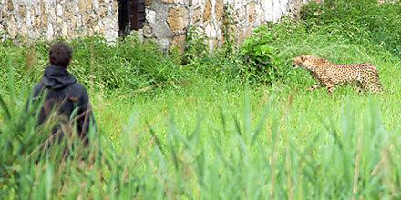 2 Geparden hielten Salzburg in Atem