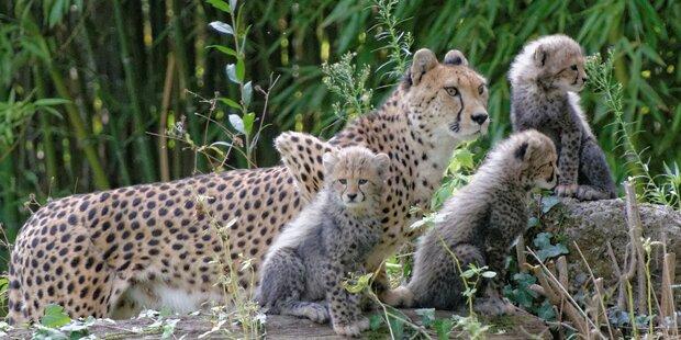 Geparden-Drillinge zeigen sich Besuchern