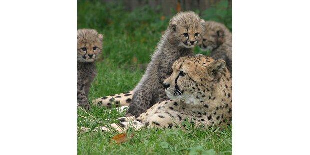 Geparden-Nachwuchs im Salzburger Zoo