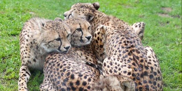 7 Geparden müssen das Land verlassen