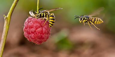 Vermeiden und behandeln Sie Wespenstiche