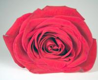 getty_rose.jpg