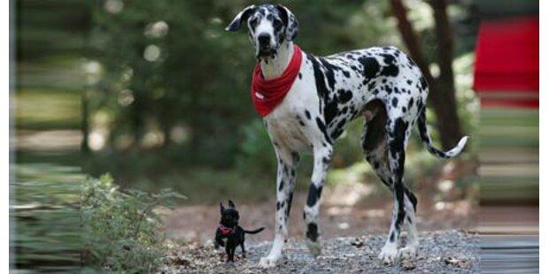 Größter Hund der Welt ist tot