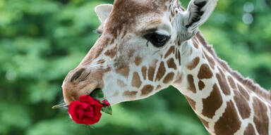 Giraffe Rosen