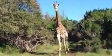 Wildgewordene Giraffe jagt Touristen