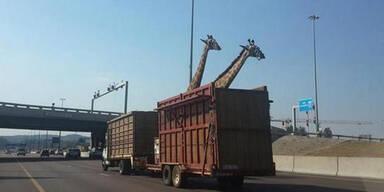 Giraffe Brücke