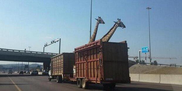 Giraffe von Brücke geköpft