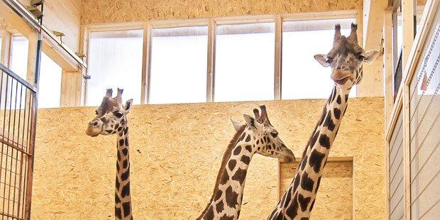 Schönbrunner Giraffen ziehen in Kaserne