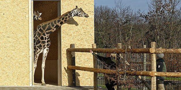Neues Quartier: Giraffen wagen sich ins Freie