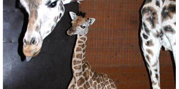 Putzige Baby-Giraffe im Zoo geboren