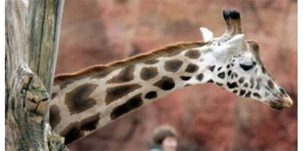 Giraffe strangulierte sich im Basler Zoo