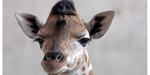 Giraffe gejagt um sie zu verspeisen
