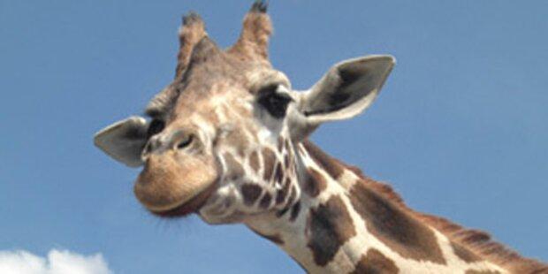 Frau von Giraffe zu Tode getrampelt