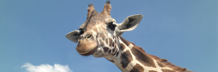 giraffe_sxc