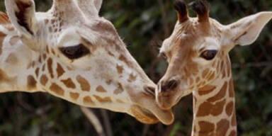 giraffen_311