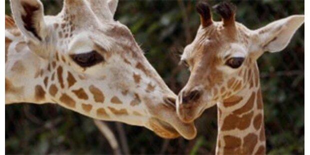 Giraffen und Giraffenmilch sind koscher